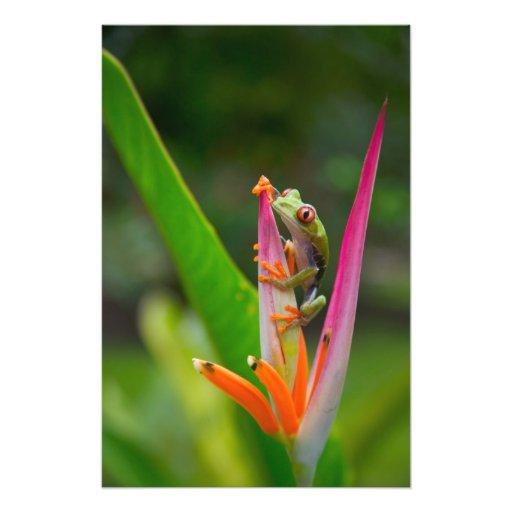 Red-eye tree frog, Costa Rica 2 Photo Art