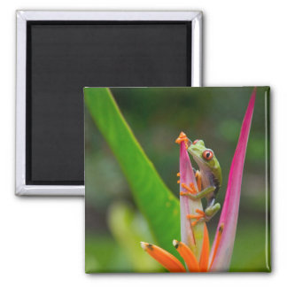 Red-eye tree frog, Costa Rica 2 Square Magnet