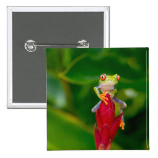Red-eye tree frog, Costa Rica Button
