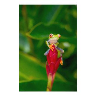 Red-eye tree frog, Costa Rica Photo Art