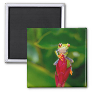 Red-eye tree frog, Costa Rica Square Magnet