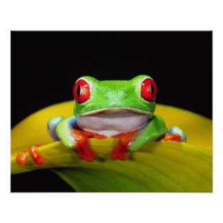 Red Eye Treefrog, Agalychinis callidryas, Native Poster