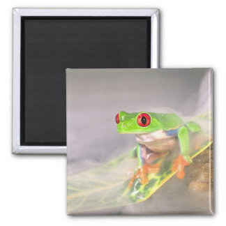 Red Eye Treefrog in the mist, Agalychinis Square Magnet