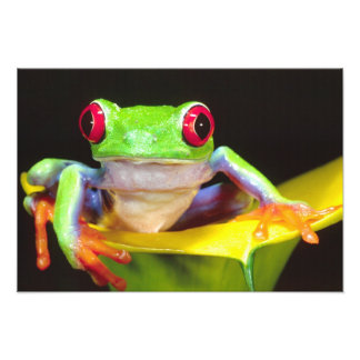 Red Eye Treefrog on a Calla Lily, Agalychnis Photograph