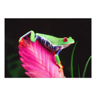 Red Eye Treefrog on Bromeliad, Agalychinis Art Photo