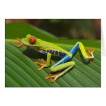 Red Eyed Green Tree Frog Cards