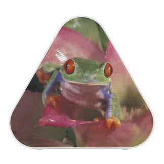 Red-eyed tree frog Agalychnis callidryas)