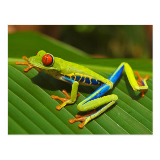 Red Eyed Tree Frog near Playa Jaco in Costa Rica Postcard