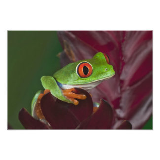 Red-eyed treefrog photo print
