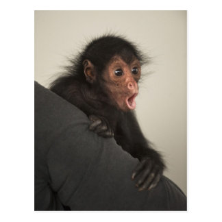 Red-faced Spider Monkey Ateles paniscus) Postcard