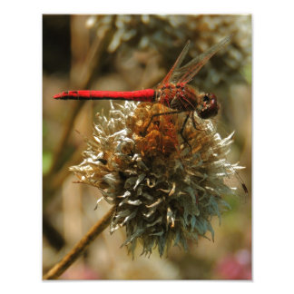 Red Fall Dragonfly Photo Print