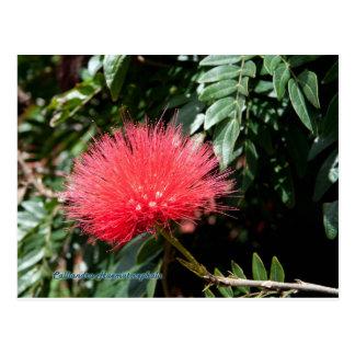 Red Flower - Calliandra Postcard