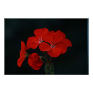 Red Flowers Against Black Background Poster