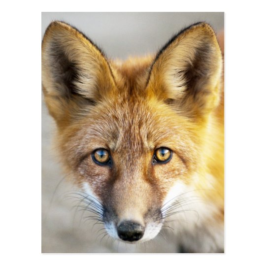 Red Fox Face, Close-up Postcard
