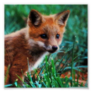 Red fox in natural habitat poster