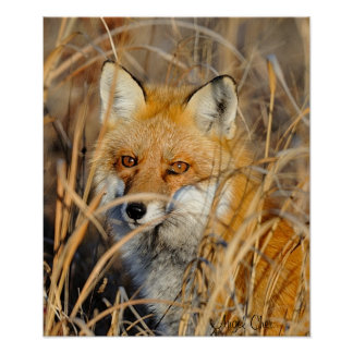 Red Fox In The Weeds Poster