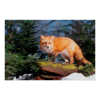 Red Fox on a log Poster