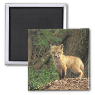 Red Fox pup in front of den (Vulpes vulpes) Square Magnet
