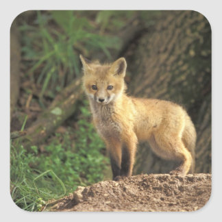 Red Fox pup in front of den (Vulpes vulpes) Square Sticker