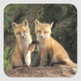 Red Fox pup in front of den Vulpes vulpes) Square Sticker