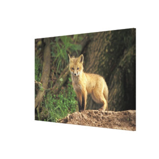 Red Fox pup in front of den (Vulpes vulpes) Stretched Canvas Prints
