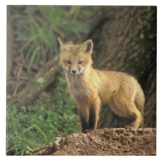 Red Fox pup in front of den (Vulpes vulpes) Tile
