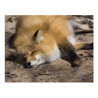 Red Fox Resting Postcard