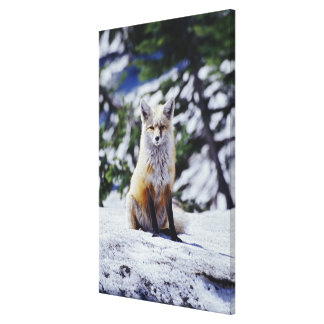 Red Fox sitting on snow bank, Vulpes, Mt. Stretched Canvas Prints
