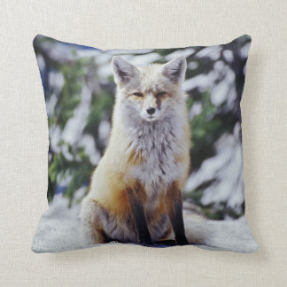 Red Fox sitting on snow bank, Vulpes, Mt. Cushion