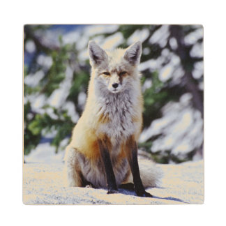 Red Fox sitting on snow bank, Vulpes, Mt. Maple Wood Coaster