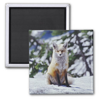 Red Fox sitting on snow bank, Vulpes, Mt. Square Magnet