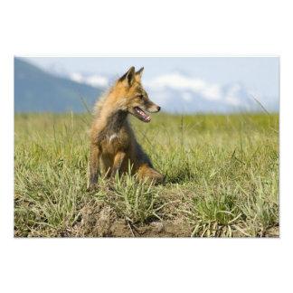 Red Fox, Vulpes fulva , Katmai National Park, Photo Art