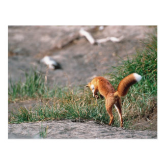 Red Fox, Vulpes vulpes, Alaska Peninsula, 3 Postcard