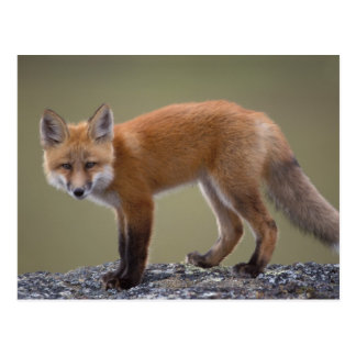 red fox, Vulpes vulpes, along the central North 2 Postcard