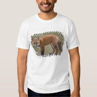 red fox, Vulpes vulpes, along the central North 2 Shirts