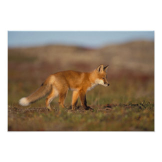 red fox, Vulpes vulpes, along the central Poster