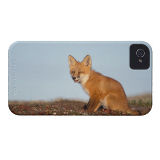 red fox, Vulpes vulpes, in fall colors along the 2 iPhone 4 Case-Mate Cases