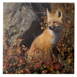 red fox, Vulpes vulpes, in fall colors along the 4 Tile