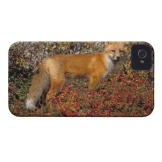 red fox, Vulpes vulpes, in fall colors along the 5 iPhone 4 Case-Mate Cases