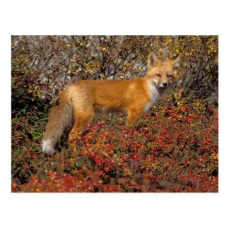 red fox, Vulpes vulpes, in fall colors along the 5 Postcard
