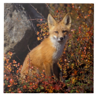 red fox, Vulpes vulpes, in fall colors along the Ceramic Tile
