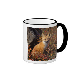 red fox, Vulpes vulpes, in fall colors along the Ringer Mug