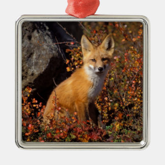 red fox, Vulpes vulpes, in fall colors along the Silver-Colored Square Decoration