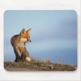 red fox, Vulpes vulpes, in the 1002 area of Mouse Pad