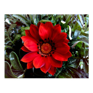 Red Gazania Postcard
