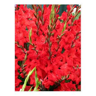 Red gladioli flowers in bloom postcard