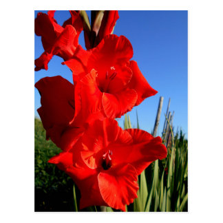 Red Gladiolus And The Blue Sky Postcard