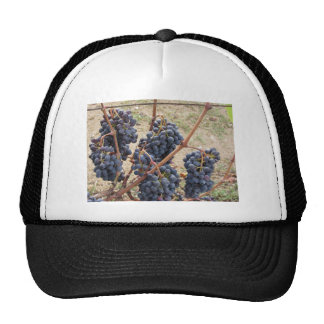 Red grapes on the vine . Tuscany, Italy Cap
