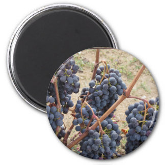 Red grapes on the vine . Tuscany, Italy Magnet