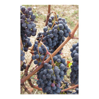 Red grapes on the vine . Tuscany, Italy Stationery